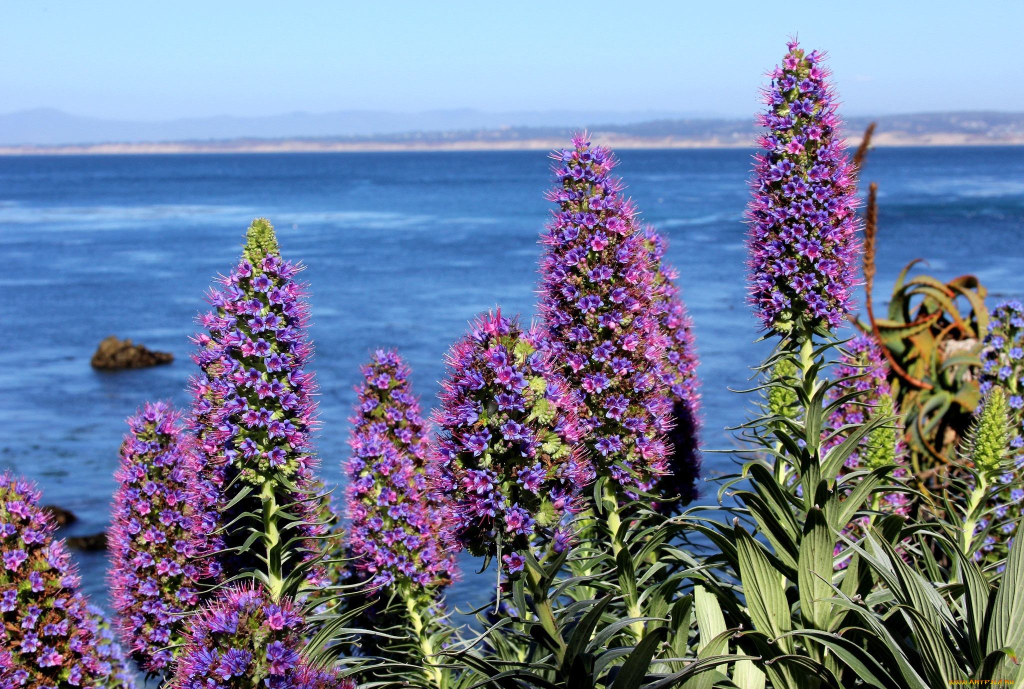 море фиолетовых цветов картинки татар иногда значительно